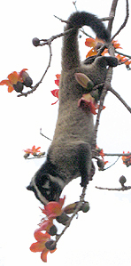Luwak tree 1